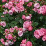 バラの召使い主婦が紹介する薔薇の香り6種と薔薇の種類とは【マツコの知らない世界】